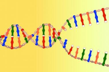 Separated DNA strands