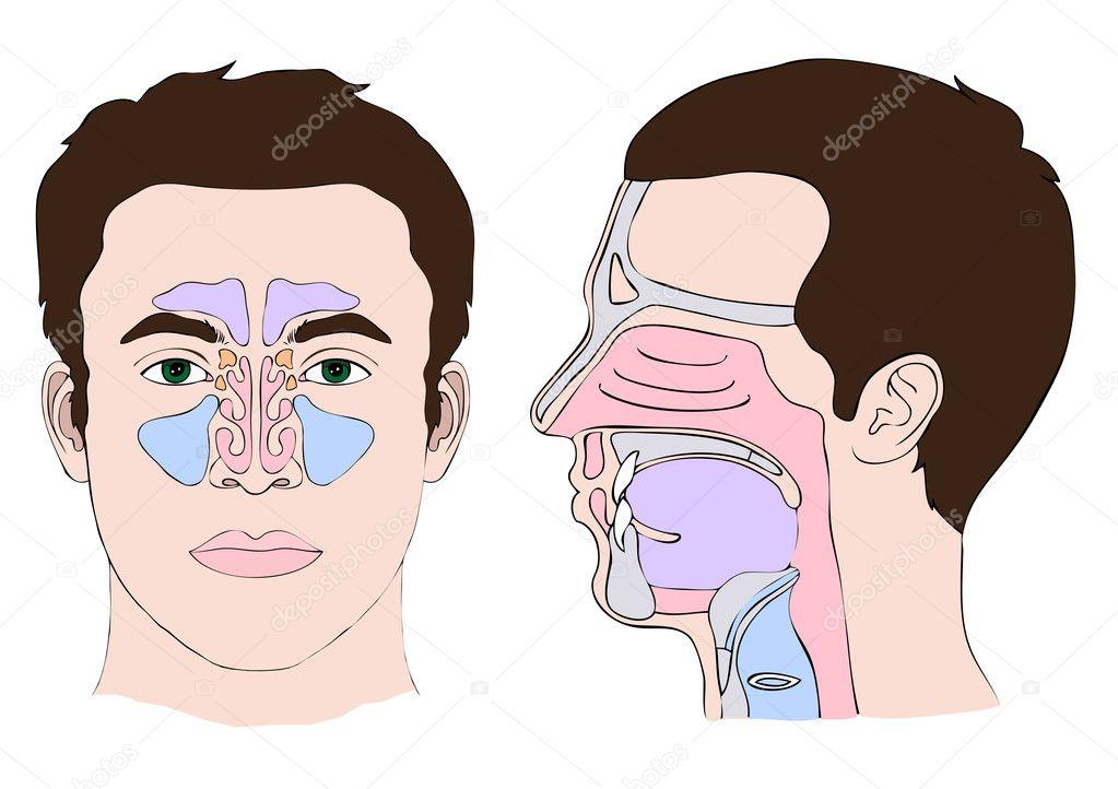 Anatomía de la nariz y la garganta — Vector de stock © eveleen #10219004