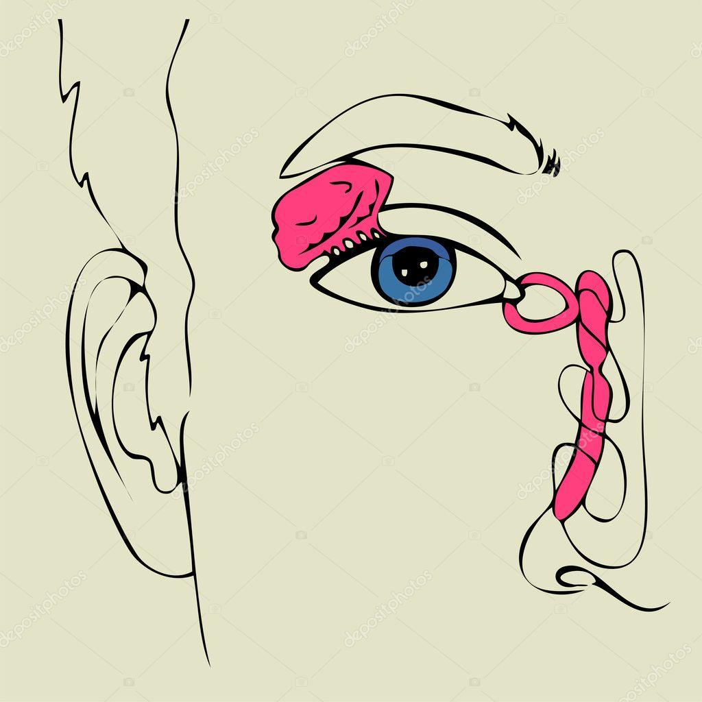 Anatomía del aparato lacrimal — Archivo Imágenes Vectoriales ...