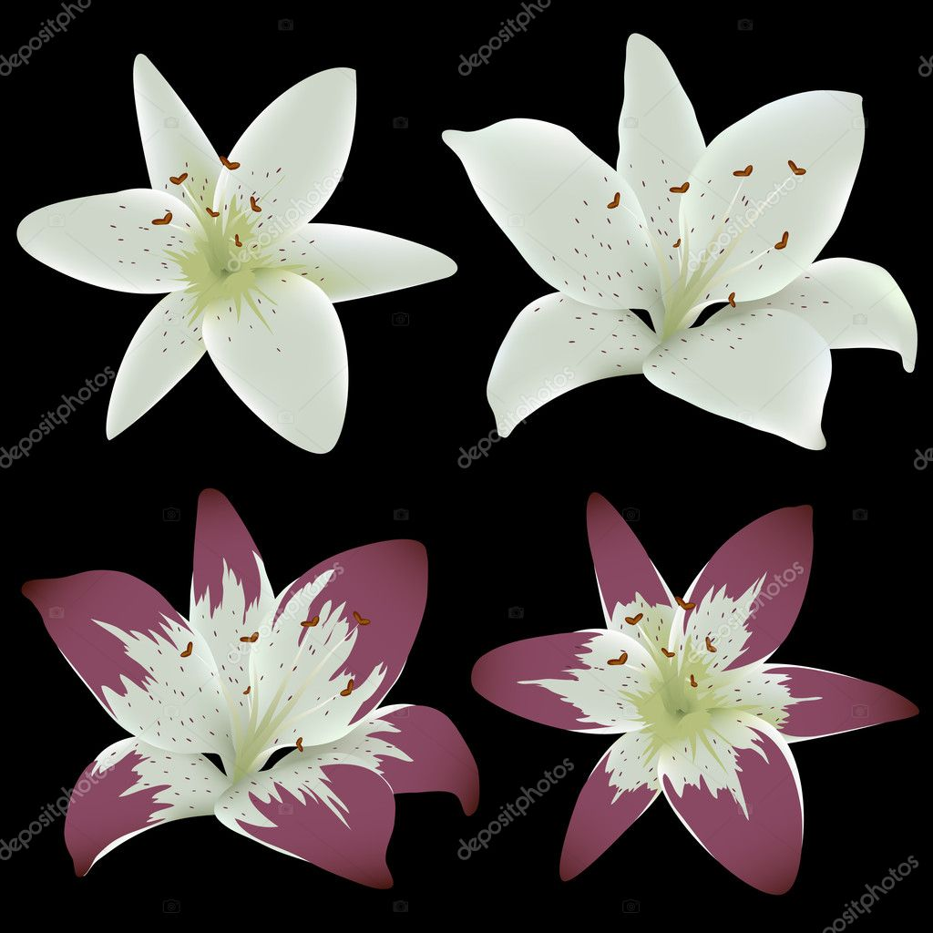 Lily Flowers Isolated On Black Background Stock Vector Zubroffka