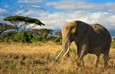 Lone elephant in front of Mt. Kilimanjaro