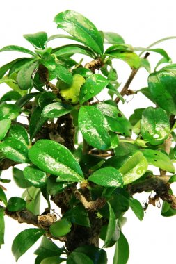 Close-up bonsai tree