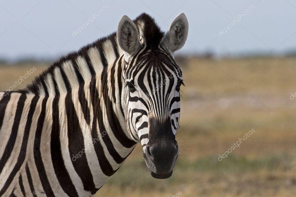 Portrait of Burchells zebra