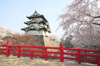 Full bloomed cherry blossoms and japanese castle