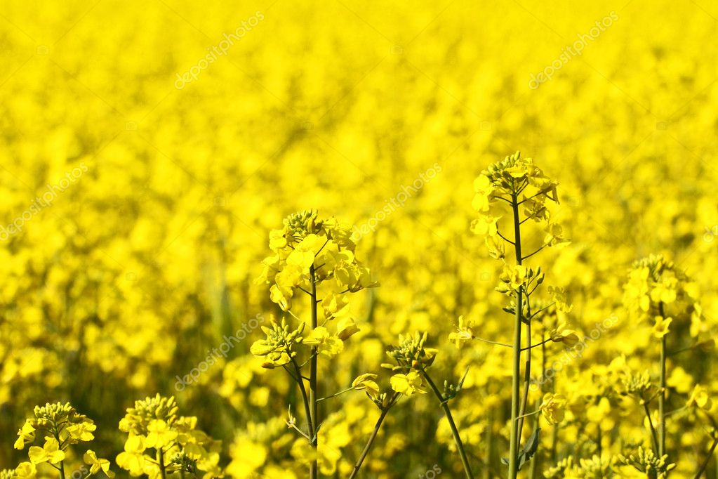 Rape field canola crops stock photo yoshiyayo 9366656 rape field canola crops stock photo mightylinksfo