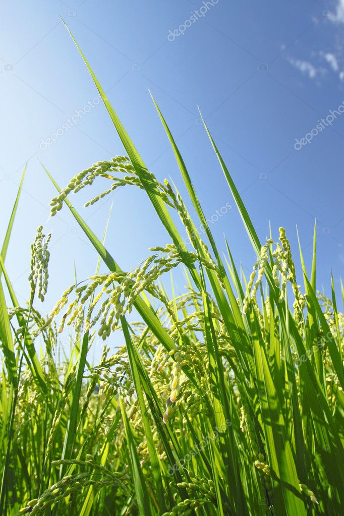 Landscape of rice field with blue sky