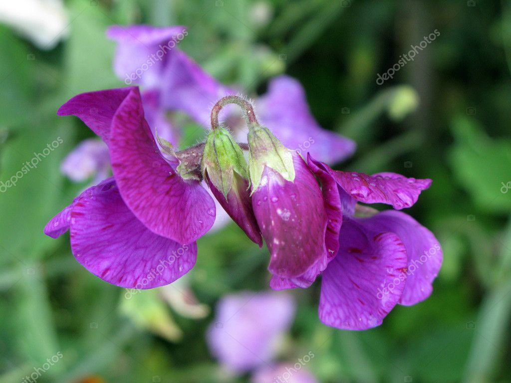 Violet Sweet Pea (Lathyrus odomtus)