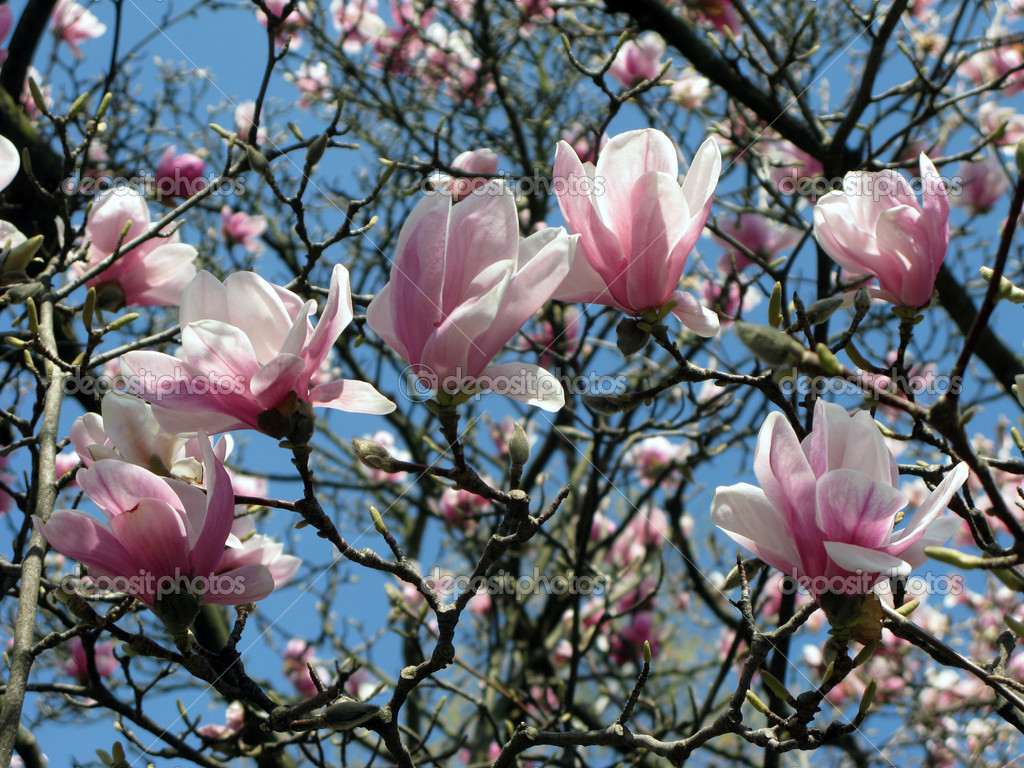 bl hende magnolien baum fr hling stockfoto yelena tom. Black Bedroom Furniture Sets. Home Design Ideas