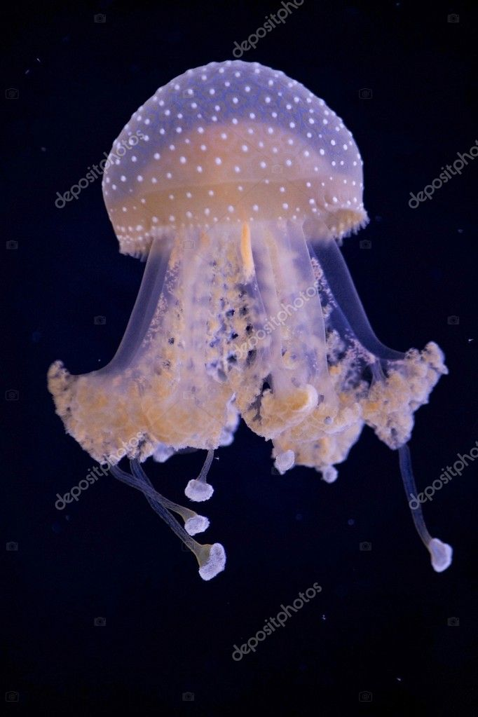 Jellyfish over black background
