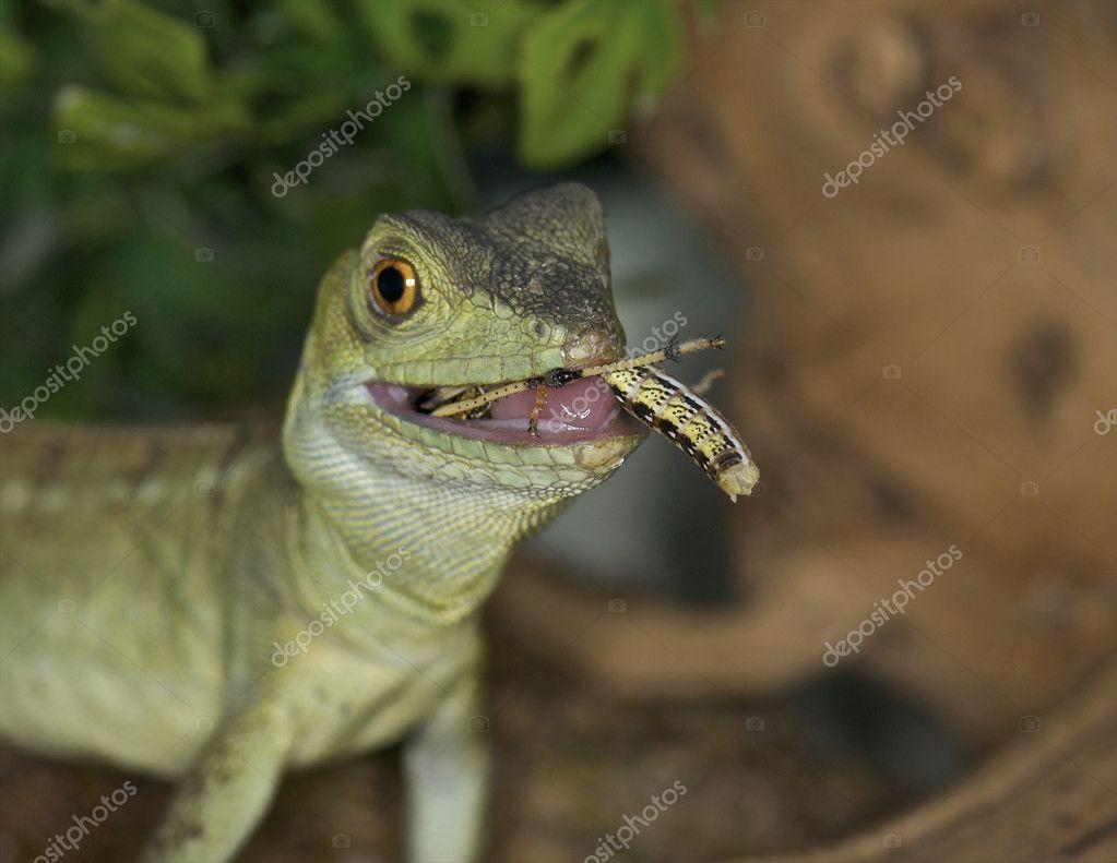 Green Basilisk - Basiliscus basiliscus