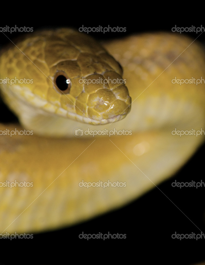 Picture: a rat snake in texas | Texas Rat Snake — Stock