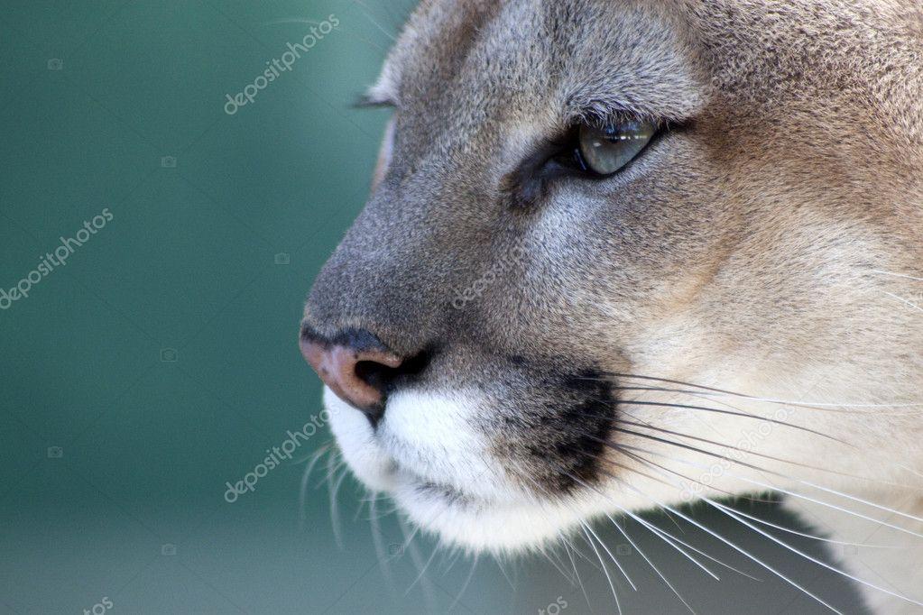 Pensive Florida Panther