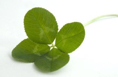 Four leaf clover on white
