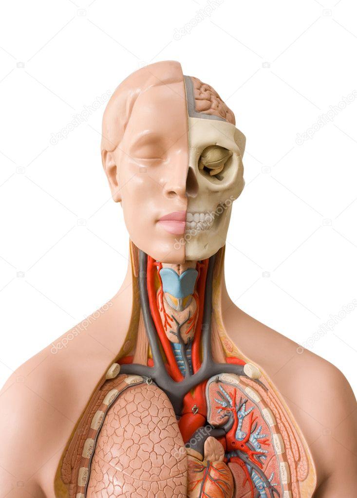 menschliche Anatomie dummy — Stockfoto © Arcady #10665839