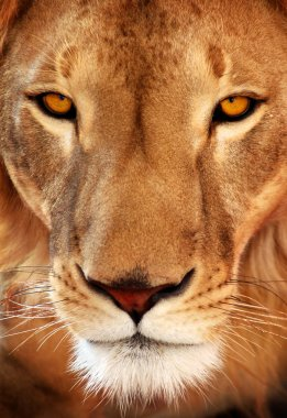 Close up of a lion
