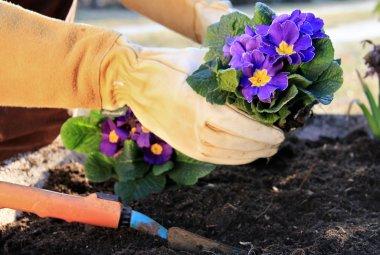 Primrose in a garden pot