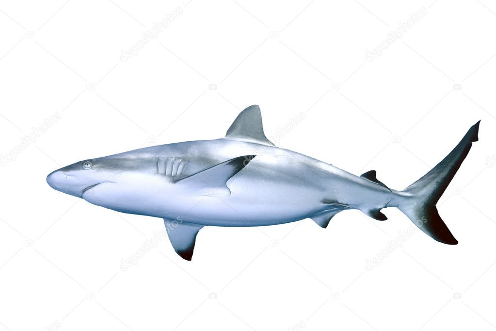 Shark isolated on white