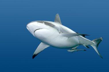 Shark with Remora swimming underwater