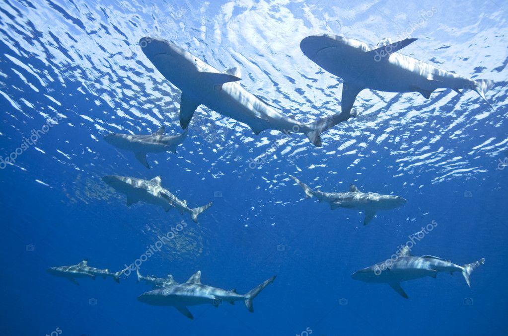 School of Sharks