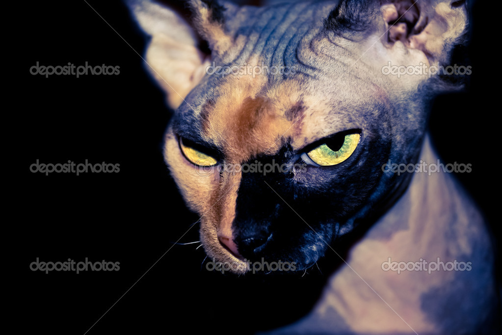 Self confident Sphynx cat on a black background