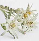 Edelweiß Blume isoliert auf weißem Hintergrund
