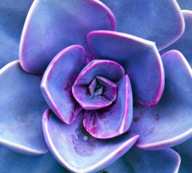 Purple sempervivum petals
