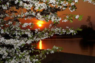 The sunset through blossom