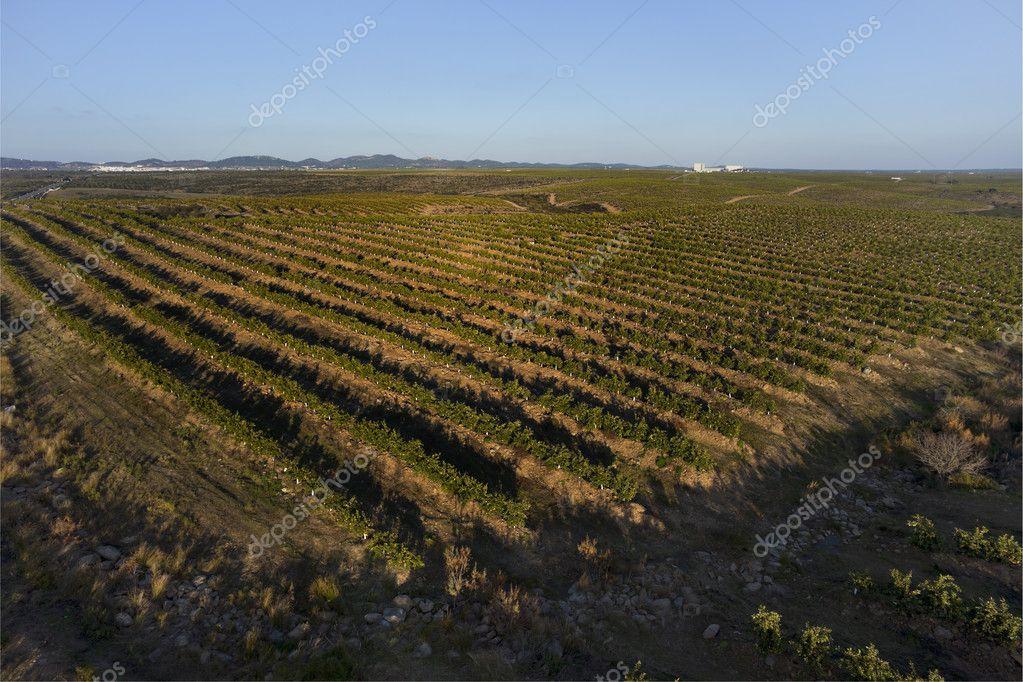 Orange trees plantation aerial view
