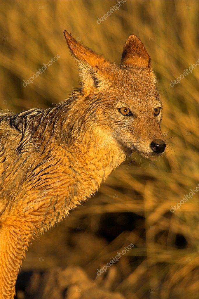 Portrait of a jackal
