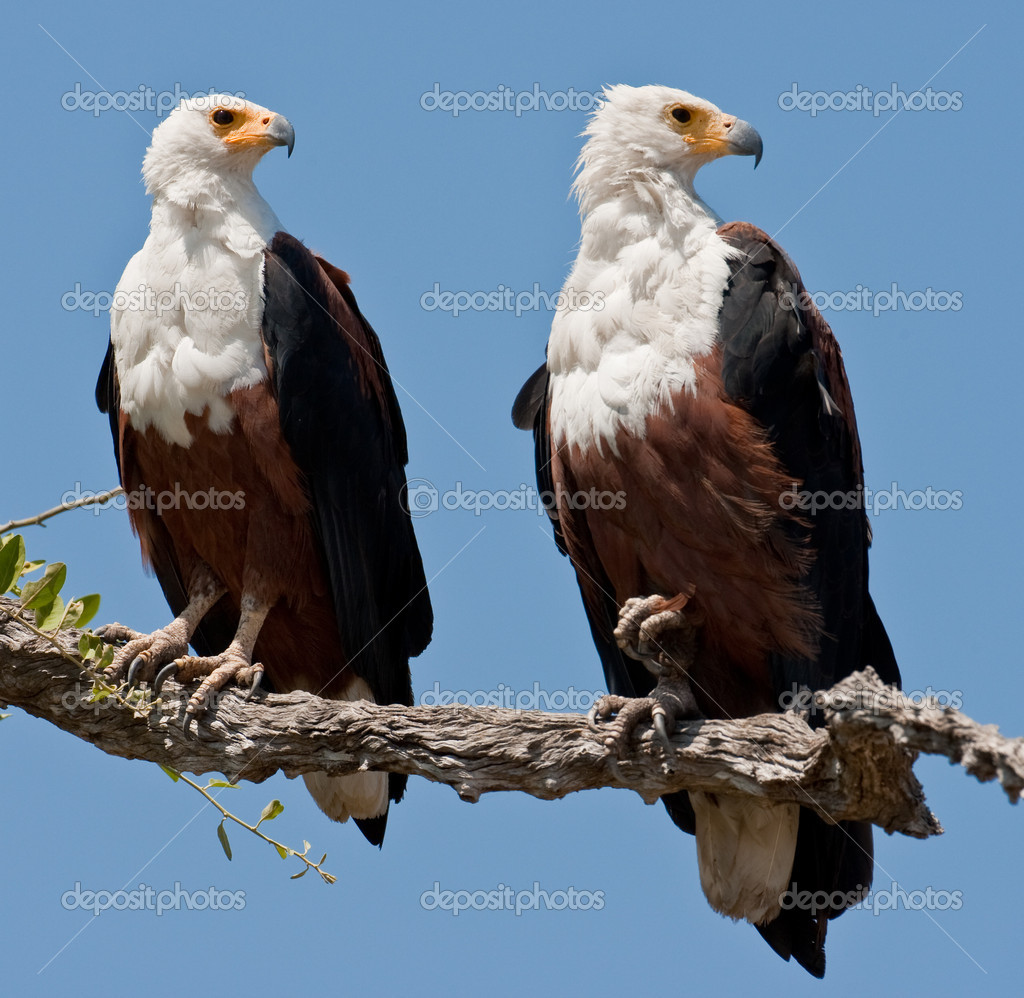 Couple of fish eagles sitting on a tree.