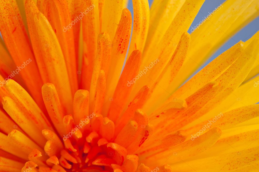 Extreme macro shot of a chrysanthemum against a blue background