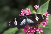 Doris longwing motýl