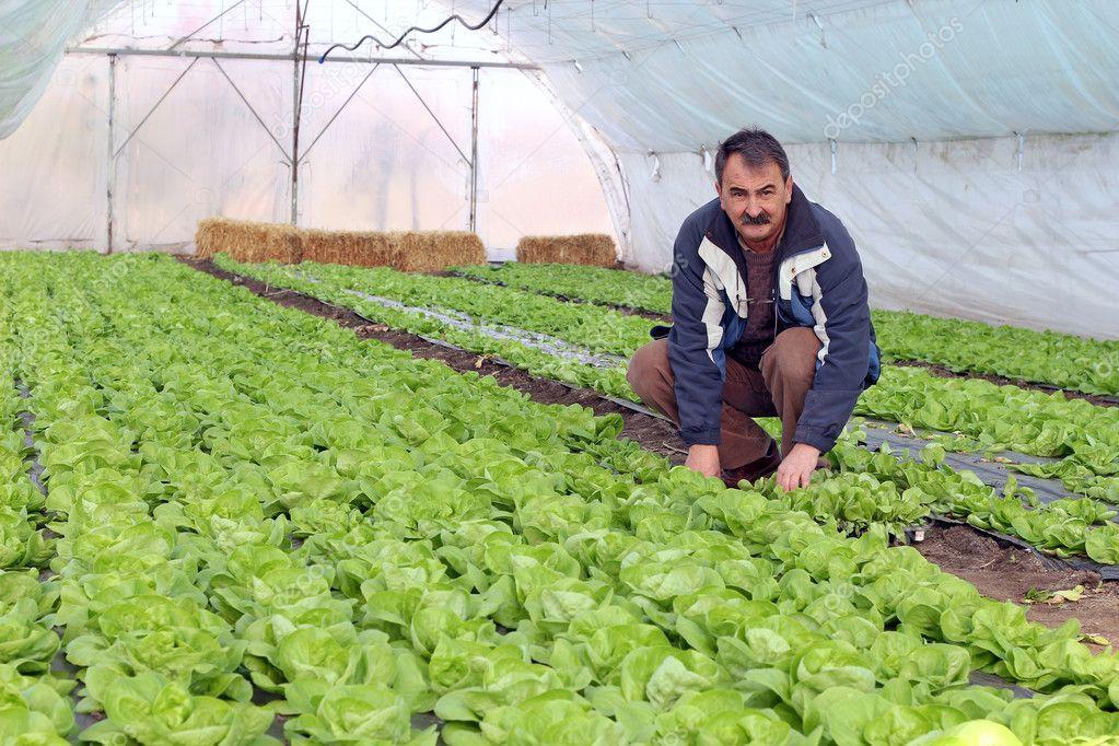 Выращивание салата в теплицах фото