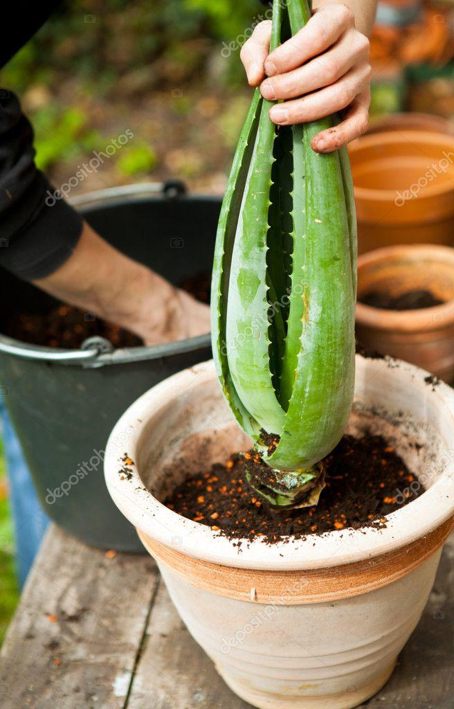 jardinier rempoter les plantes jeunes aloe vera photographie nilswey 10368919. Black Bedroom Furniture Sets. Home Design Ideas
