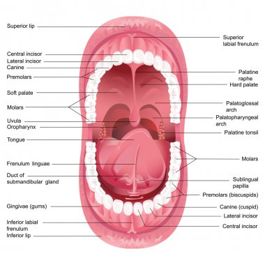 Vector Mouth Anatomy