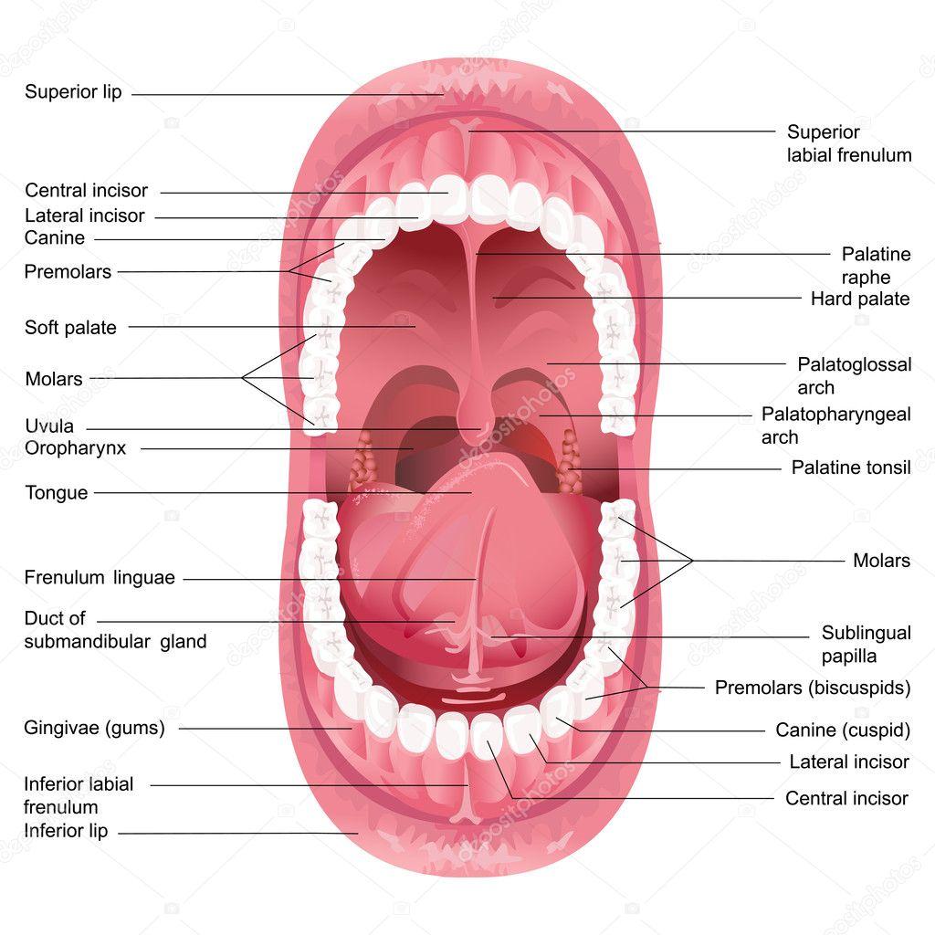 Vektor Mund Anatomie — Stockvektor © stockshoppe #10376300