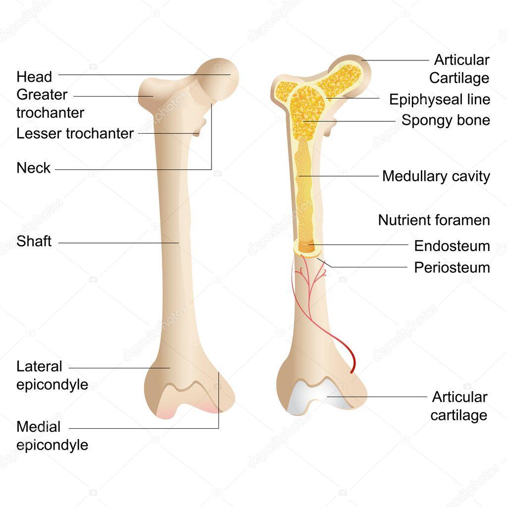 anatomía ósea Vector — Archivo Imágenes Vectoriales © stockshoppe ...