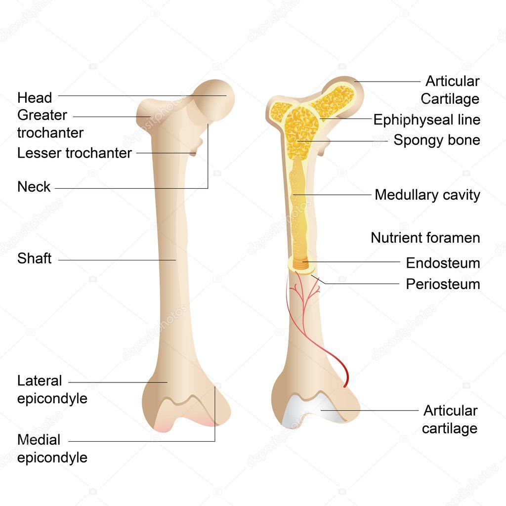 bot anatomie — Stockvector © stockshoppe #9978318