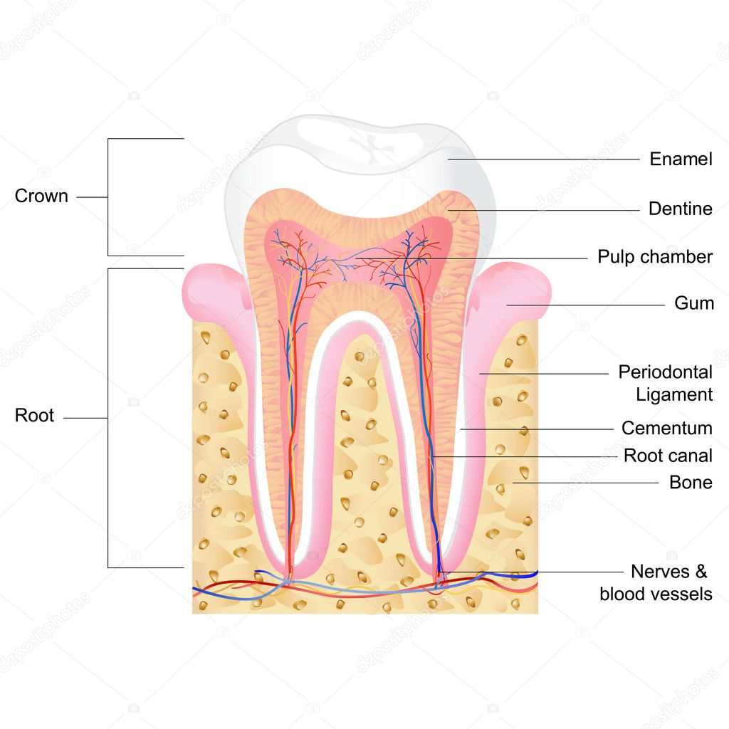 Zahn-Anatomie — Stockvektor © stockshoppe #9978610