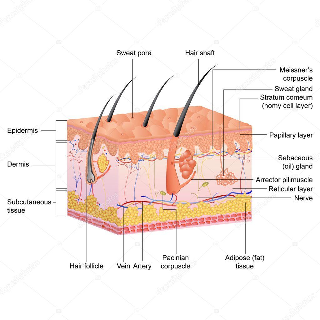 Anatomía del pelo — Archivo Imágenes Vectoriales © stockshoppe #9979255