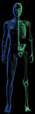 Translucent Human body and x-ray Skeleton on black