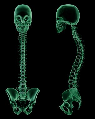 X-ray skeletal structure of the Human Spine,Spine, and Pelvic Girdle
