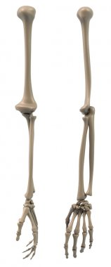 Skeletal structure of the arm