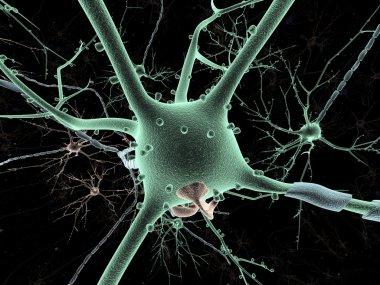 Cell body of Neuron long-shot