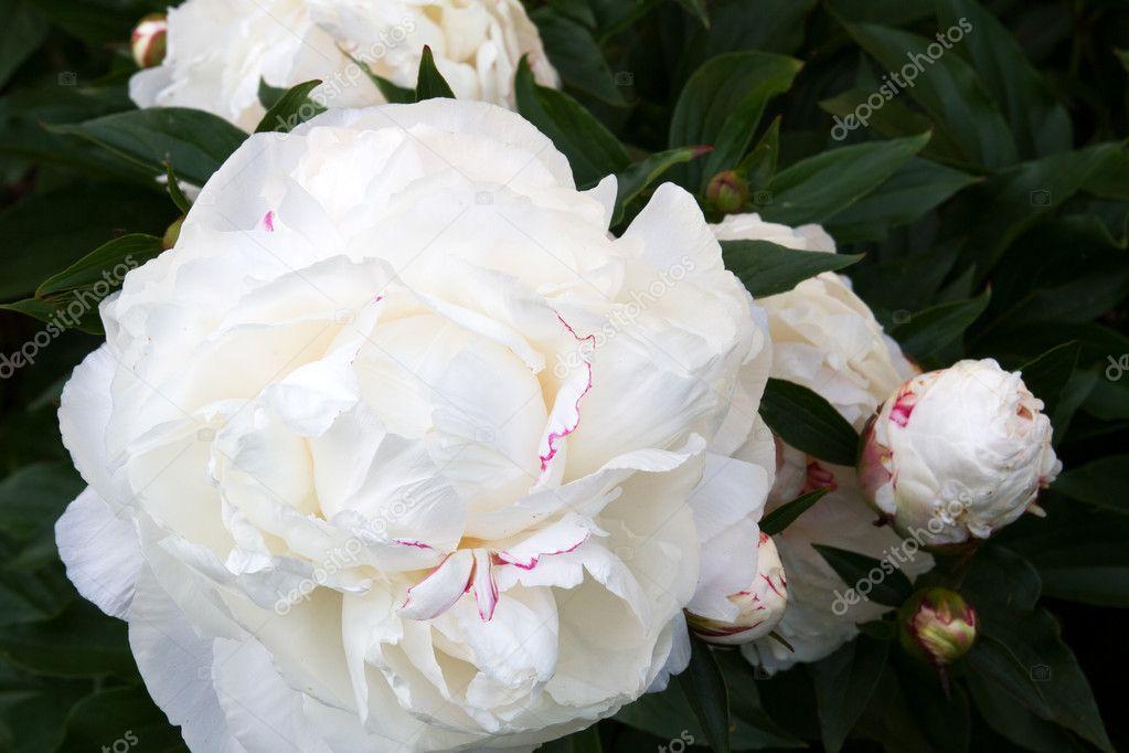 White Peony Flower Paeonia Stockfoto Haraldmuc 9195365