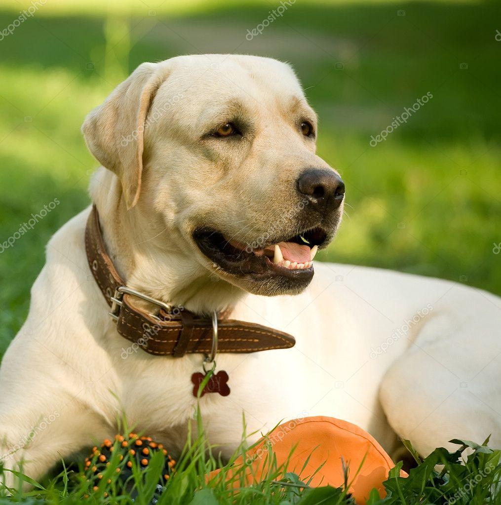 Portrait of gold labrador retriever