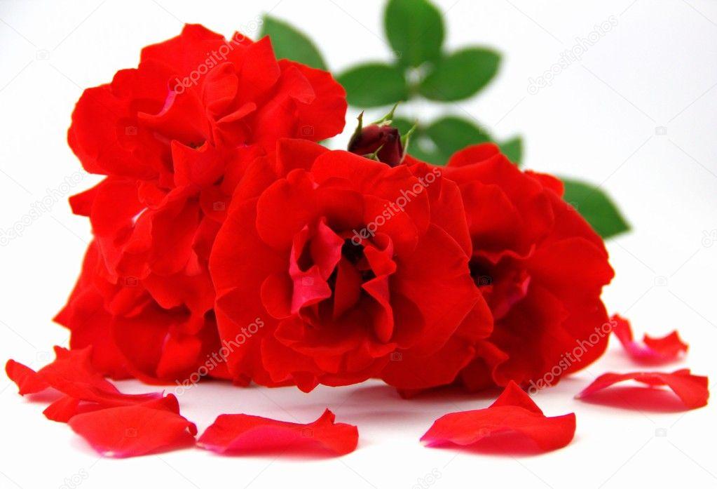 p tales de roses et roses rouge photographie sailanalnt 10715383. Black Bedroom Furniture Sets. Home Design Ideas