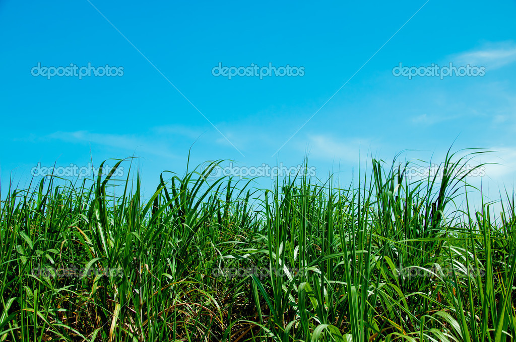 The Sugarcane field on blue sky background
