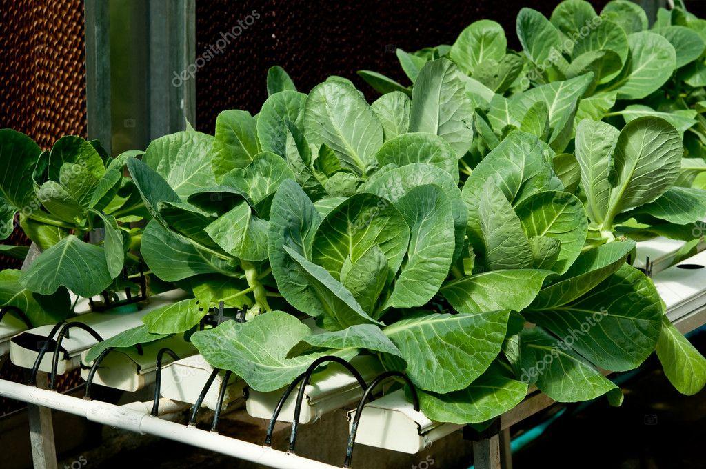 el orgnico hidropnico de hortalizas kale en jardn u fotos de stock