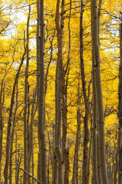 Aspen Forest in Fall